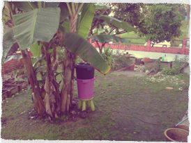 BananaCircle